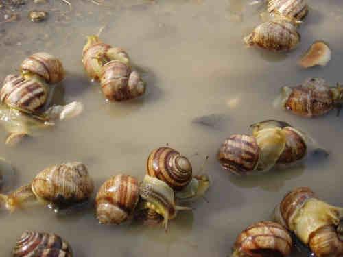 Live Snails( Helix Pomatia,Helix Aspersa,Helix Lucorum,Giant African Land Snails)