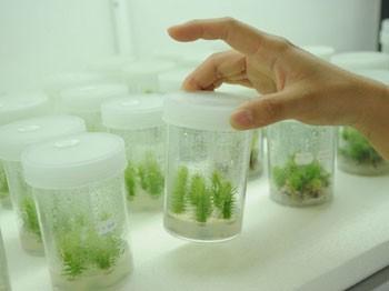 Agar Agar Plant Tissue Culture Grade