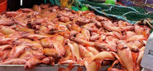 Good quality Frozen Atlantic Red fish Fillet /Ocean perch for sale(Sebastes Mentella)
