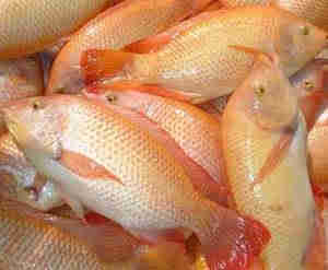 Grade A Fresh Frozen Red/Black Tilapia Fish