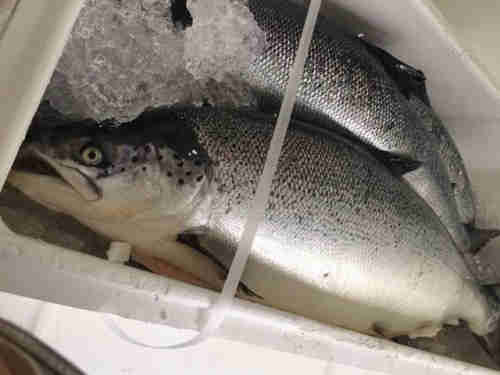 Fresh Frozen Salmon, Salmon Fish Fillets, Frozen